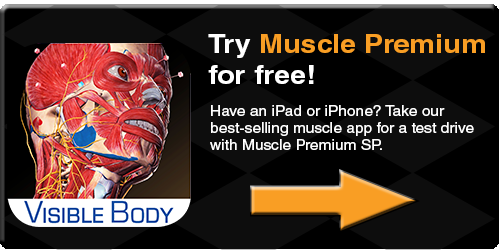 Muscle Premium SP muscles bones anatomy