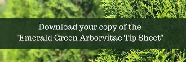 emerald green arborvitae planting guide