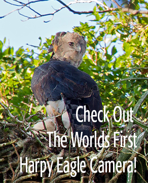 HarpyCam - Tambopata AmazonCam