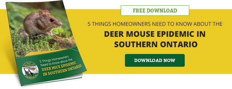 5 Things Homeowners Need to Know about the Deer Mice Epidemic in Southern Ontario