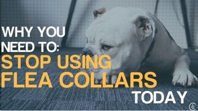 why you need to stop using flea collars
