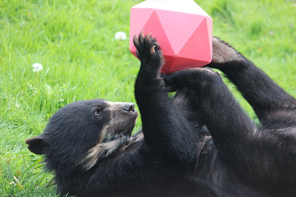 A spectacled bear plays with a toy purchased from our Amazon Wishlist