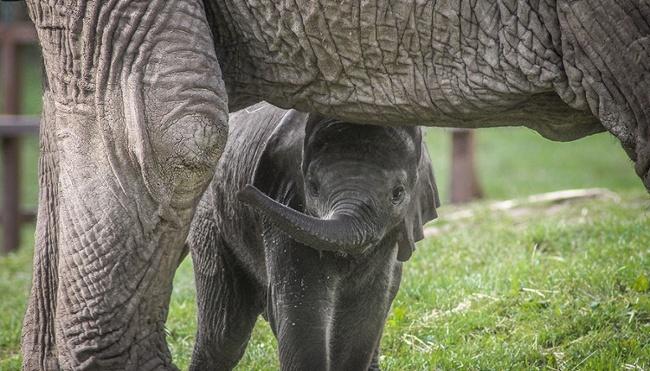 African elephant calf, Nusu