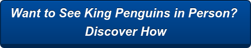 Want to See King Penguins in Person?  Discover How