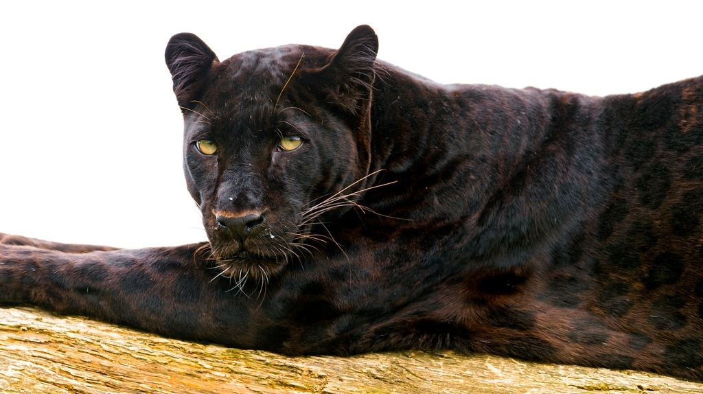The Majestic African Black Panther - photo#23