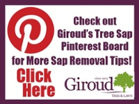 Giroud Tree Sap Pinterest Page