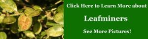 Leafminers