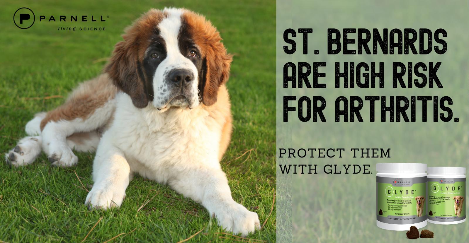 St Bernards are high risk for arthritis