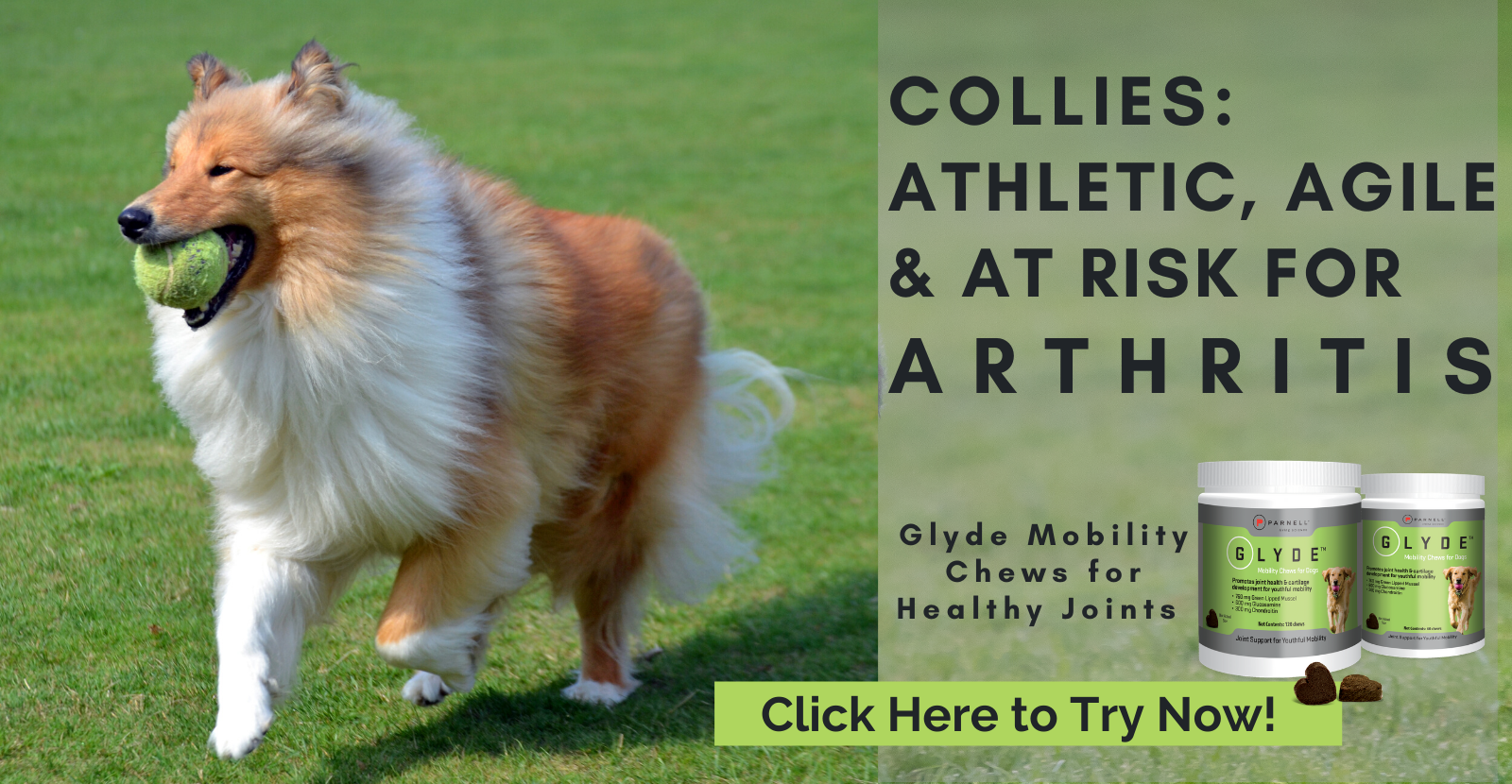 Collies are At Risk for Arthritis