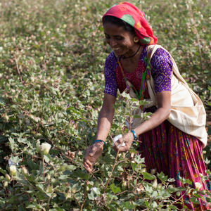 Cotton Blog