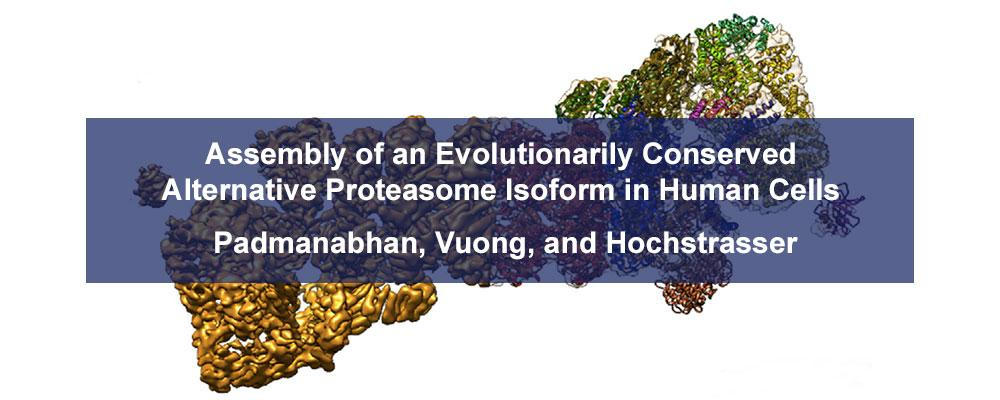 Assembly of an Evolutionarily Conserved Alternative Proteasome Isoform in Human Cells