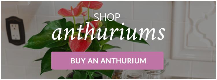 Buy-Anthurium-Plants-Online