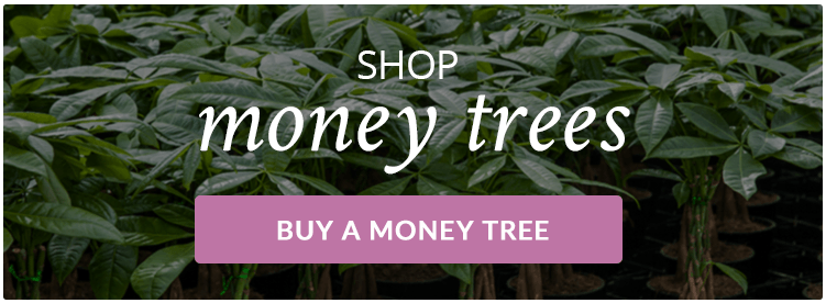 Buy-Money-Tree-Plants