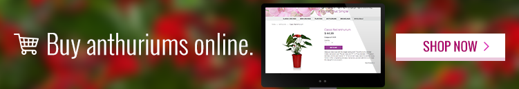 buy_anthuriums_online