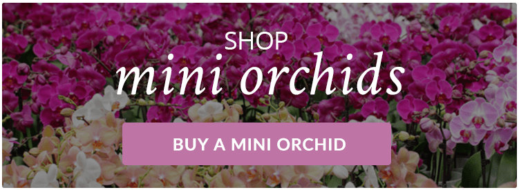 Buy-Mini-Orchids-Online