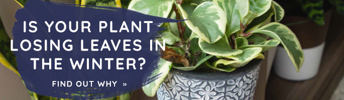 Causes for Plants to Lose Leaves in Winter CTA