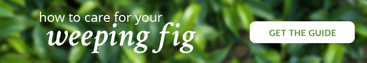 Weeping-fig-care-guide