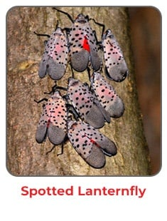 Spotted Lanternfly Pest Control