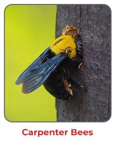 Carpenter Bees NJ DE MD PA