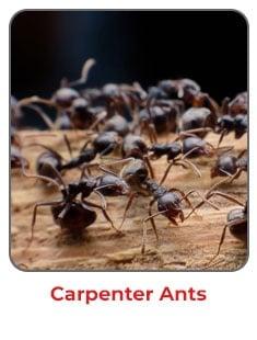 Carpenter Ants NJ MD PA DE