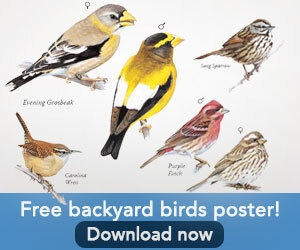 Download a free poster of common backyard birds